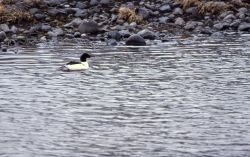 Common merganser Photo