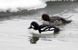Male & female Barrow's Goldeneye Photo