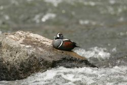 Male Harlequin Duck at LeHardy Rapids Photo