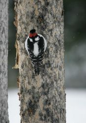 Hairy woodpecker near Silver Gate, MT Photo