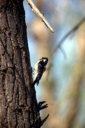 Female Downy Woodpecker Photo