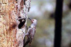 Female Shafted Flicker nestling Photo