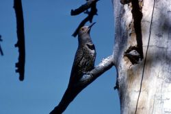 Male Shafted Flicker - Woodpeckers Photo