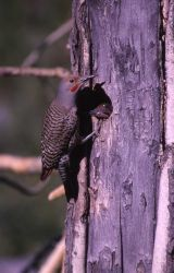 Female Shafted Flicker - Woodpeckers Photo