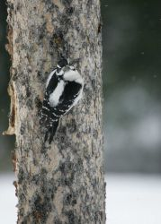 Hairy woodpecker near Silver Gate, MT Photo