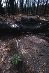 Charred trees from the Grizzly Lake burn Photo