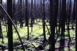 Regrowth in moist area after 1979 Beaver Heart fire Photo