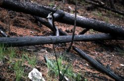 Grouse on nest (under front log) after 1976 Arrow fire Photo