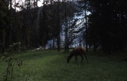 Elk grazing near fire at Grizzly Lake trailhead Photo