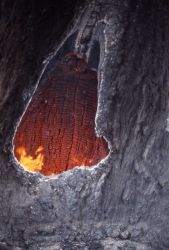 Fire burning inside of Douglas fir trunk at Floating Island Lake - Ground fire Photo