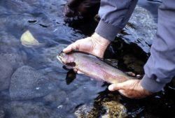 Cutthroat Trout Photo