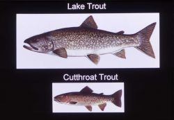 Size comparison between Lake & Cutthroat Trout Photo
