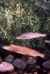 Snake River Cutthroat Trout Photo