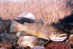 Brown Trout Photo