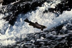 Trout jumping in water Photo