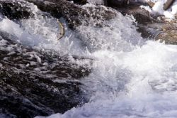 Brown Trout leaping water fall Photo