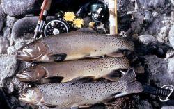 Three fish & fishing rods Photo