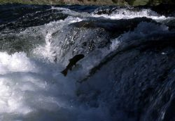 Cutthroat Trout leaping at LeHardy Rapids Photo