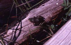 Frog at Ice Lake Photo