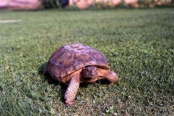 Desert Turtle, Grand Canyon National Park Photo