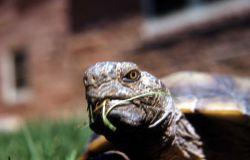 Close up of a Desert Turtle, Grand Canyon National Park Photo