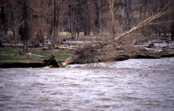 Beaver gnawed cottonwood on bank falling into the Lamar River, -1 of 3 - Geology Photo