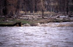 Cottonwood that fell into the Lamar River, -2 of 3 - Geology Photo