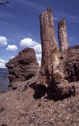Petrified tree, Specimen Ridge Photo