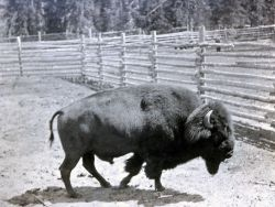 Bison show pen on Dot Island Photo