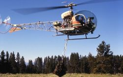 Helicopter removing anesthetized grizzly bear Photo