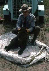 Measuring anesthetized grizzly bear cubs Photo