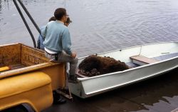 Anesthetized bear in boat waiting to be relocated Photo
