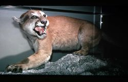 Mountain Lion exhibit at Mammoth Hot Springs Photo