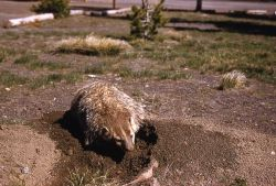Badger digging Photo