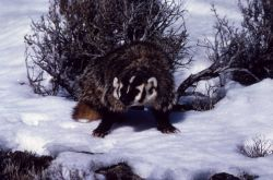 Badger in winter in Oregon Photo