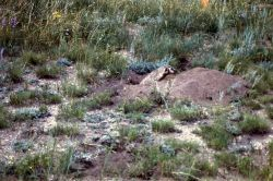Badger in ground at Buffalo Ranch Photo
