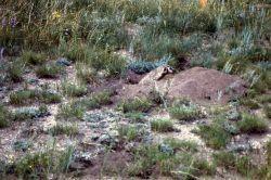 Badger in ground at Buffalo Ranch Photo
