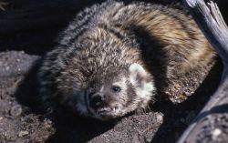 Badger at West Thumb Photo