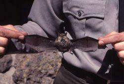 Bat (dead?) held by naturalist Photo