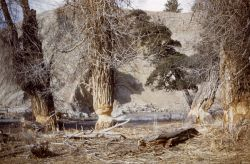 Beaver-gnawed trees at Gardiner River Photo