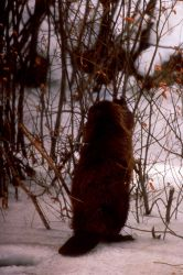 Beaver eating, possibly willow, in snow - Slide from Grand Teton National Park Photo