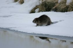 Beaver carrying willow twigs at Soda Butte Creek near confluence with Lamar River Photo