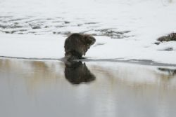 Beaver at Soda Butte Creek near confluence with Lamar River Photo
