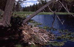 Beaver house at Lost Lake Photo