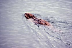 Beaver swimming in Joffe Lake Photo