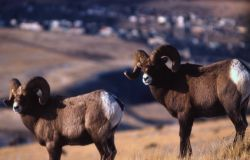 Two Bighorn Sheep rams Photo