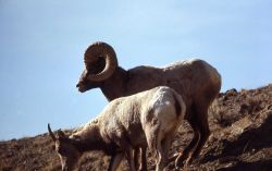 Bighorn Sheep ewe and ram Photo
