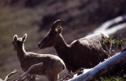 Bighorn Sheep ewe and lamb Photo