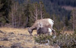 Bighorn Sheep ewe and lamb on Mt Washburn Photo