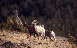 Bighorn Sheep ewes on Mt Washburn Photo